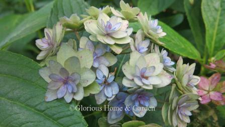 Hydrangea macrophylla 'Doublicious' showing flowers in faded stage