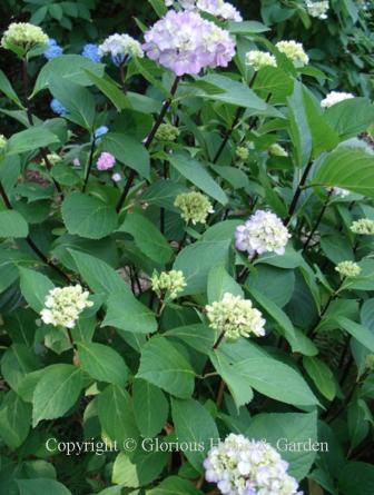 Hydrangea macrophylla Nigra