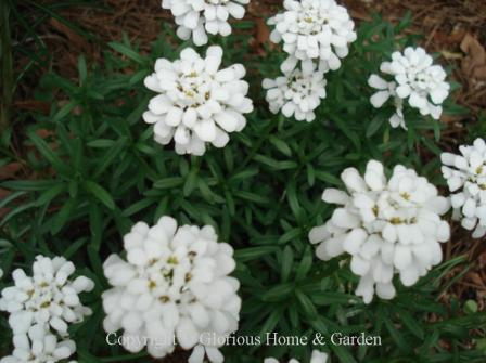 Iberis sempervirens, candytuft