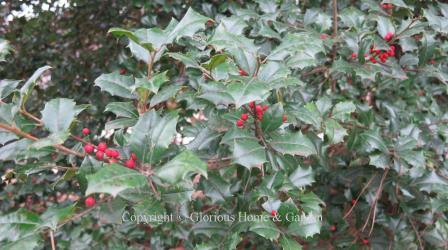 Ilex opaca, American holly berries