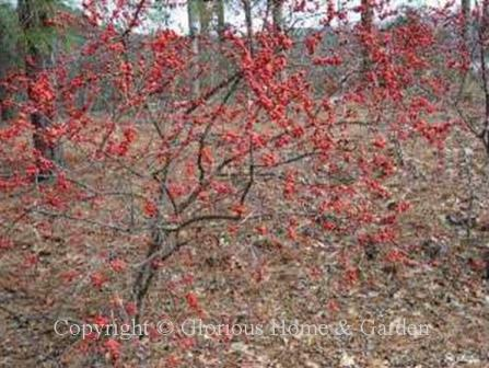 Ilex verticillata, winterberry holly