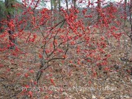 Ilex verticillata, winterberry holly