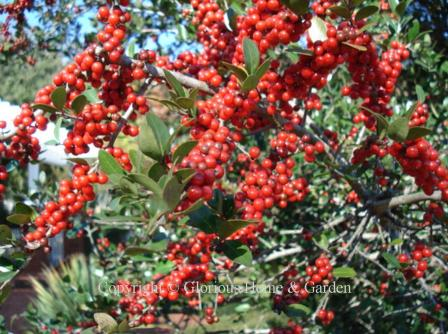Ilex vomitoria, yaupon holly