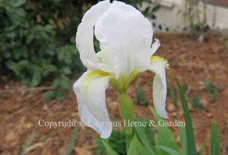 Iris albicans