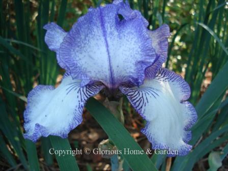 Iris Autumn Circu