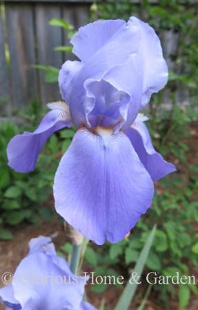 Iris 'Blue Rhythm'