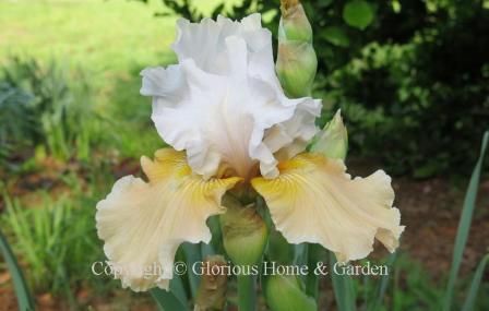 Iris 'Champagne Elegance'