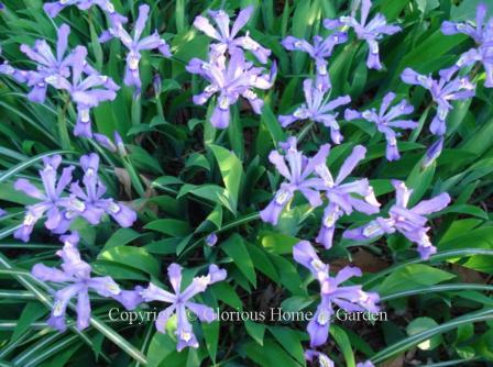 Iris cristata 'Eco Bluebird'