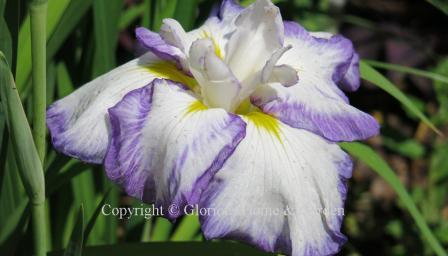 Iris ensata 'Light at Dawn'