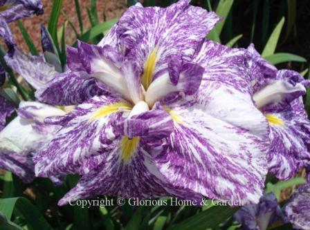 Iris ensata 'Umi Botaru'