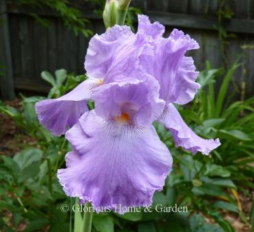 Iris 'Italic Light'