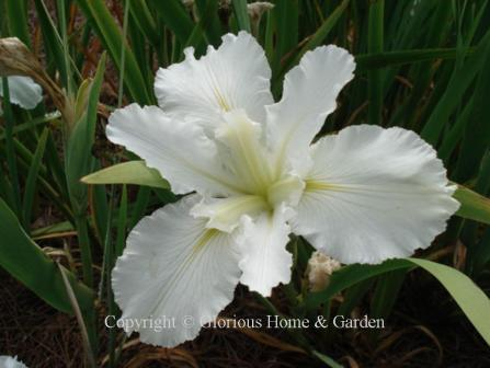 Iris x louisiana 'Dural White Butterfly'