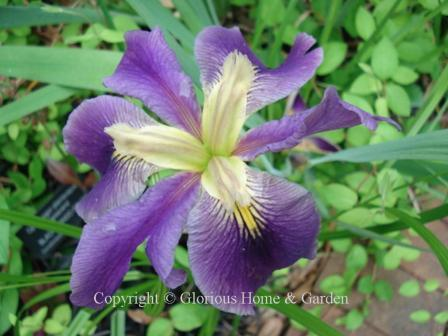Iris x louisiana 'Hurricane Party'