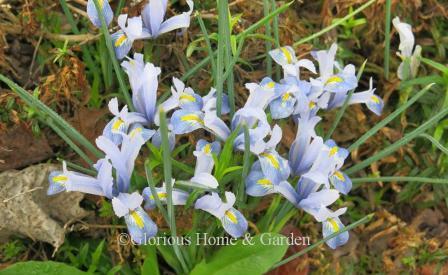 Iris reticulata 'Cantab'