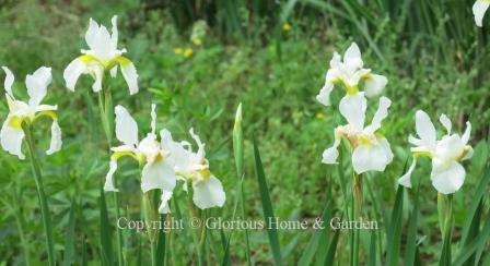 Iris sibirica 'Snowcrest'