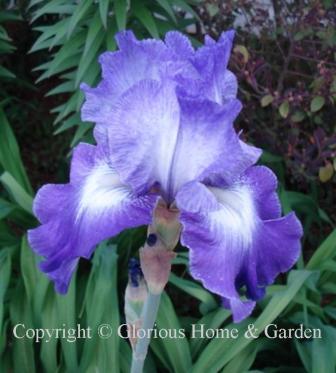 Iris 'Suky'