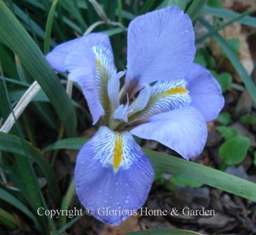Iris unguicularis, Algerian iris