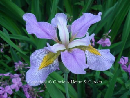 Iris virginica 'Southern Wanderer'