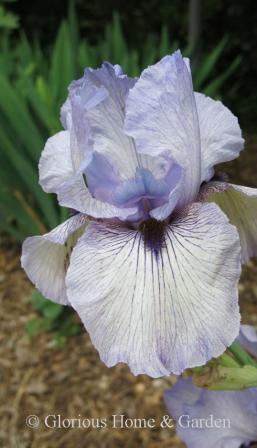 Arilbred iris 'Walker Ross'