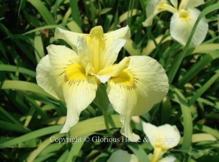 Iris x pseudata 'Aichi-no-Kagayaki'