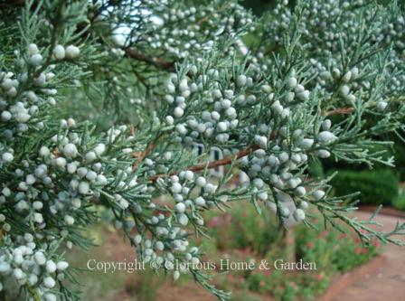 Juniperus virginian