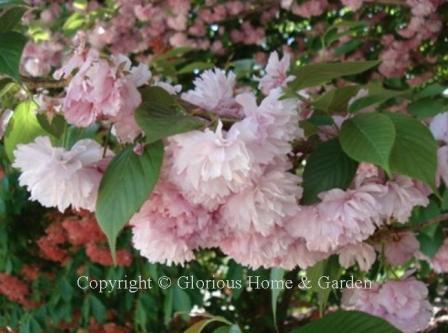 Prunus serrulata 'Kwansan'