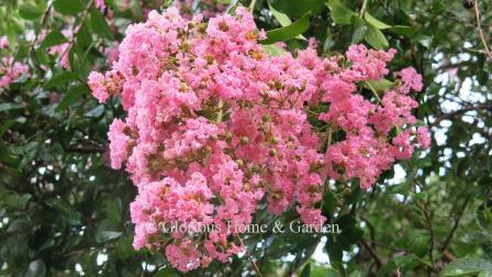 Lagerstroemia indica 'Choctaw'