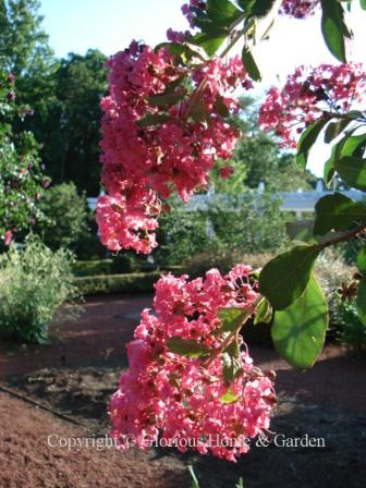 Lagerstroemia indica 'Watermelon Red'