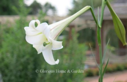 Lilium philippenense