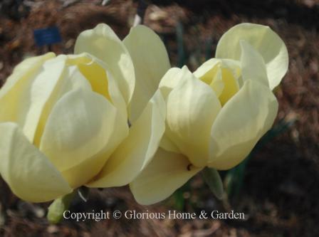 Magnolia acuminata 'Butterflies'