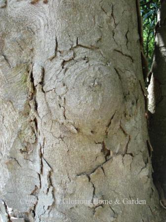 Magnolia grandiflora bark