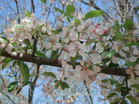 Malus angustifolia