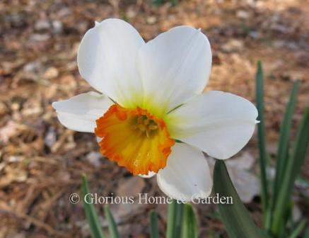 Narcissus 'Barrett Browning'