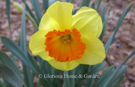 Narcissus 'Delibes'
