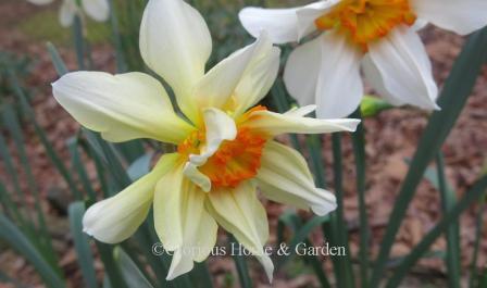 Narcissus 'Feu de Joie'