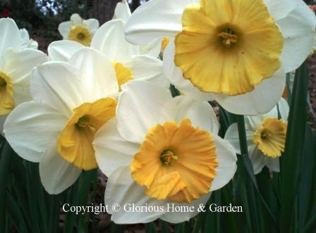 Narcissus 'Fragrant Breeze'