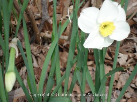 Narcissus 'Jamestown'