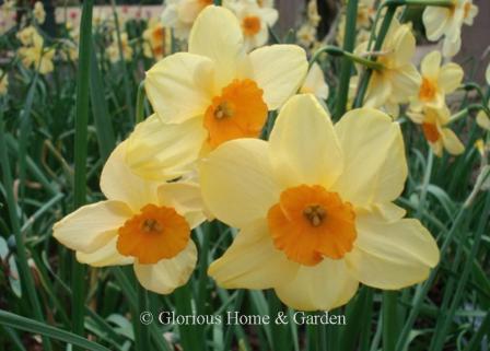 Narcissus 'Kedron'