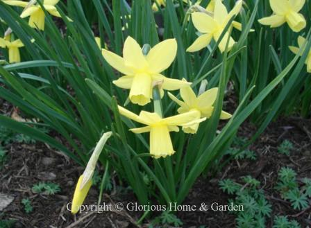 Narcissus 'Liberty Bells'