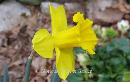 Narcissus 'Marieke'