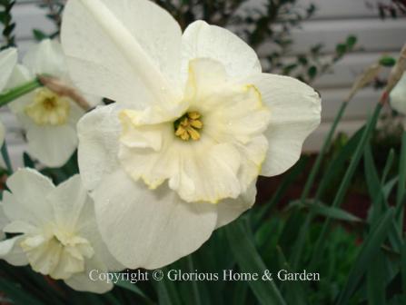 Narcissus 'Papillon Blanc'