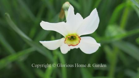 Narcissus poeticus var. recurvus