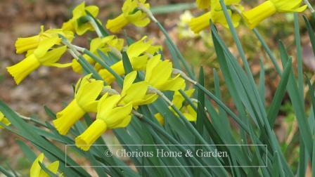 Narcissus 'Rapture'