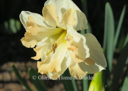 Narcissus 'Shrike'