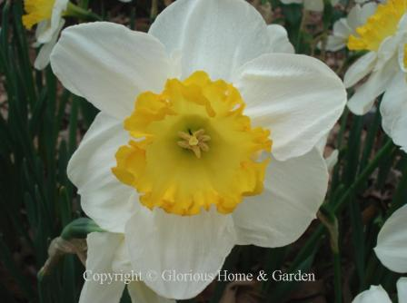 Narcissus 'Sound'