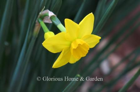 Narcissus 'Stratosphere'