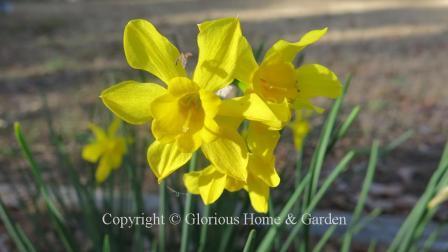Narcissus x odorus 'Linnaeus'