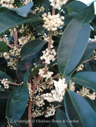 Osmanthus fragrans 'Fodingzhu'