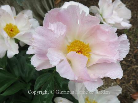 Paeonia lactiflora 'Dawn Pink'
