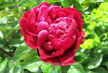 Paeonia lactiflora 'Madame Gaudichau'